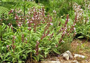 Common sage (Salvia officinalis), Thasos, Greece