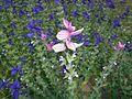 Salvia viridis 2015-07-01 3790.jpg