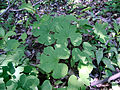 Sanguinaria canadensis, Sault Ste Marie 2.JPG