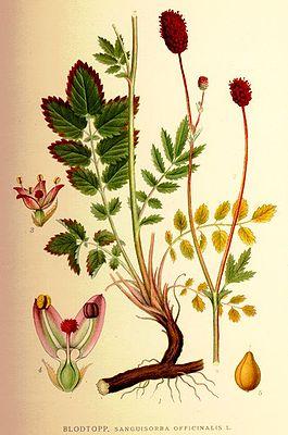 Großer Wiesenknopf (Sanguisorba officinalis) aus: Carl Axel Magnus Lindman (1856-1928): Bilder zur Nordens Flora
