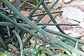Sansevieria fischeri pm.jpg