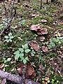 Sarcodon squamosus 94752553.jpg