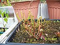 Sarracenia ((oreophila x flava) x leucophylla) x open-pollinated seedlings (5108573923).jpg