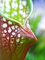 Sarracenia leucophylla (9146975804).jpg