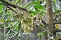 Satria coffee plantation (17031969716).jpg