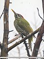 Scaly-bellied Woodpecker (Picus squamatus) (31365486557).jpg