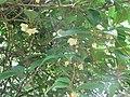 Schisandra chinensis (17968236469).jpg