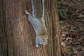 Sciurus carolinensis on tree.jpg