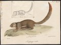 Sciurus vittatus - 1700-1880 - Print - Iconographia Zoologica - Special Collections University of Amsterdam - UBA01 IZ20400081.tif