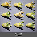 Scleranthus annuus s. str. sl6.jpg