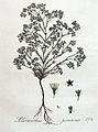 Scleranthus perennis — Flora Batava — Volume v4.jpg