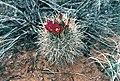 Sclerocactus parviflorus fh 51 BB.jpg