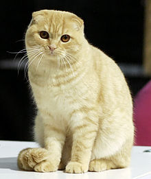 Scottish Fold Male Cat Names