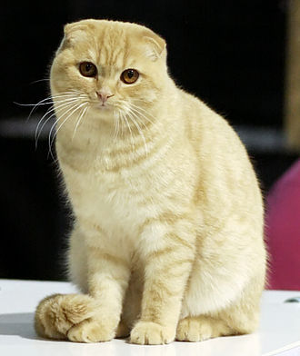 Cat body-type mutation - Scottish Fold, a cat breed with naturally occurring folded ears