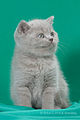 Scottish fold- straight 03.JPG