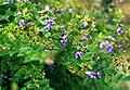 Scutellaria galericulata 3b.jpg