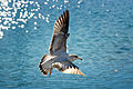 Seagull (Larus delawarensis) in flight, 2008.jpg