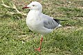 Seagull with one leg-1 (14219218115).jpg