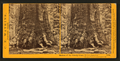 Section of the Grizzly Giant, 33 ft diameter, Mariposa Grove, Mariposa County, Cal, by Watkins, Carleton E., 1829-1916 2.png