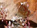Sedum brevifolium Enfoque 2010-6-06 SierraMadrona.jpg