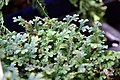 Selaginella uncinata 6zz.jpg
