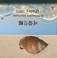 Semicassis inornata IMG 5435 Beijing Museum of Natural History - Natural History Museum of Guangxi.jpg