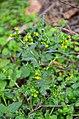 Senecio vulgaris (8237766928).jpg