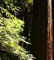 Sequoia sempervirens Hendy1.jpg