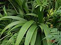 Setaria palmifolia - Flickr - peganum (2).jpg