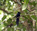 Seychelles Paradise Flycatcher - Terpsiphone corvina 2.jpg