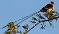 Shaft-tailed whydah, Vidua regia, at Pilanesberg National Park, Northwest Province, South Africa (28548793632).jpg