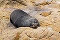Shag Point Sunbather (49063050941).jpg