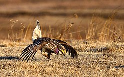 Sharp-Tailed Grouse (25406967553).jpg