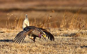 Sharp-tailed grouse - A male performing its mating display.