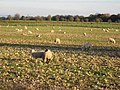 Sheep folded on root crops - geograph.org.uk - 274543.jpg