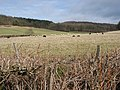 Sheep grazing in the shelter of Haugh Wood - geograph.org.uk - 722511.jpg