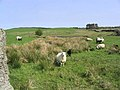 Sheep pasture - geograph.org.uk - 419169.jpg