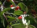 Shepherdia argentea (5199899573).jpg