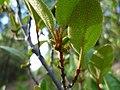 Shepherdia canadensis flowering 2.jpg