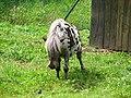 Shetland.pony-02-Castolovice.jpg