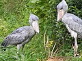 Shoebill couple2.jpg