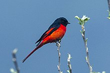 Short-billed Minivet - Bhutan S4E8323 (16407998783).jpg