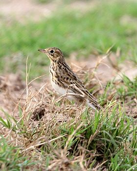 Short-billed Pipit (Anthus furcatus).jpg