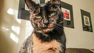 Tortoiseshell cat - Short-haired tortoiseshell cat