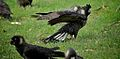 Short Billed Black Cockatoo Wings.jpg