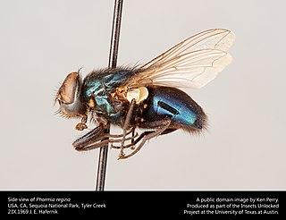 <i>Phormia regina</i> Species of fly