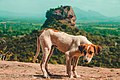 Sigiriya is not only for humans to admire.jpg