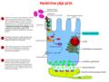 Signal transduction pathway of the sweet taste ku.png