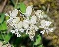 Silene latifolia in Aveyron 04.jpg