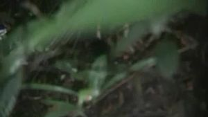 Silktail (Lamprolia victoriae) videos, photos and sound recordings ...